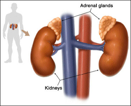 Photo of Vital to life: Understanding your amazing yet unappreciated adrenal glands