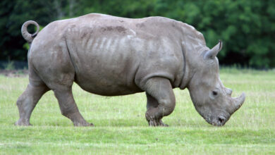 Photo of White rhino eggs harvested successfully