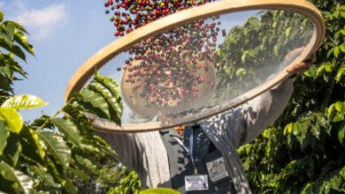 Photo of Global warming threatening coffee plantations