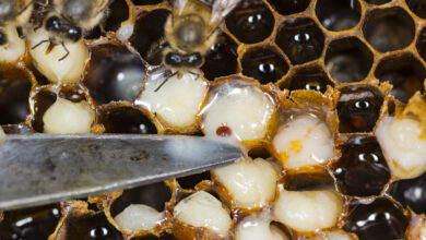Photo of Hawaii bees infested by destructive varroa mites