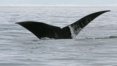 Photo of Humpback whales make longest recorded journey to give birth to their calves in warmer waters