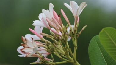 Photo of Agriculture, over-exploitation push Magnolia species to the brink of extinction