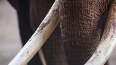 Photo of Illegal ivory trade supplies unregulated markets of Asia
