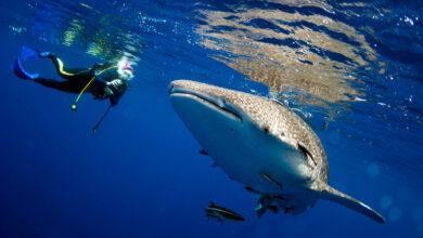 Photo of Renewal of indigenous whale hunting quota not good for whale population
