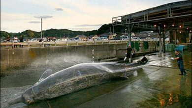 Photo of First Whale of the season butchered in Japan