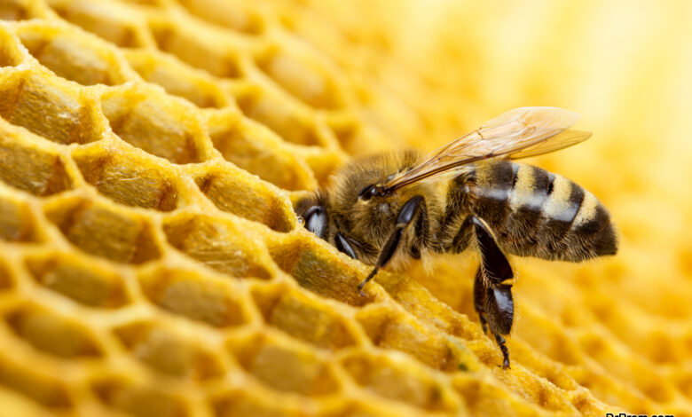honey-bees-disappearing-in-the-US