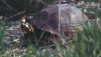 Photo of Chinese health soup demands pushing Texas turtles to extinction