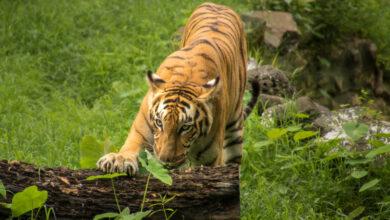 Photo of Tiger crisis in India- Census
