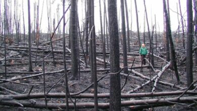 Photo of Beetle droppings help fire-devastated forests replenish naturally