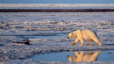 Photo of Polar bear to be protected under the Endangered Species Act