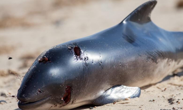 Mass dolphin stranding on British river