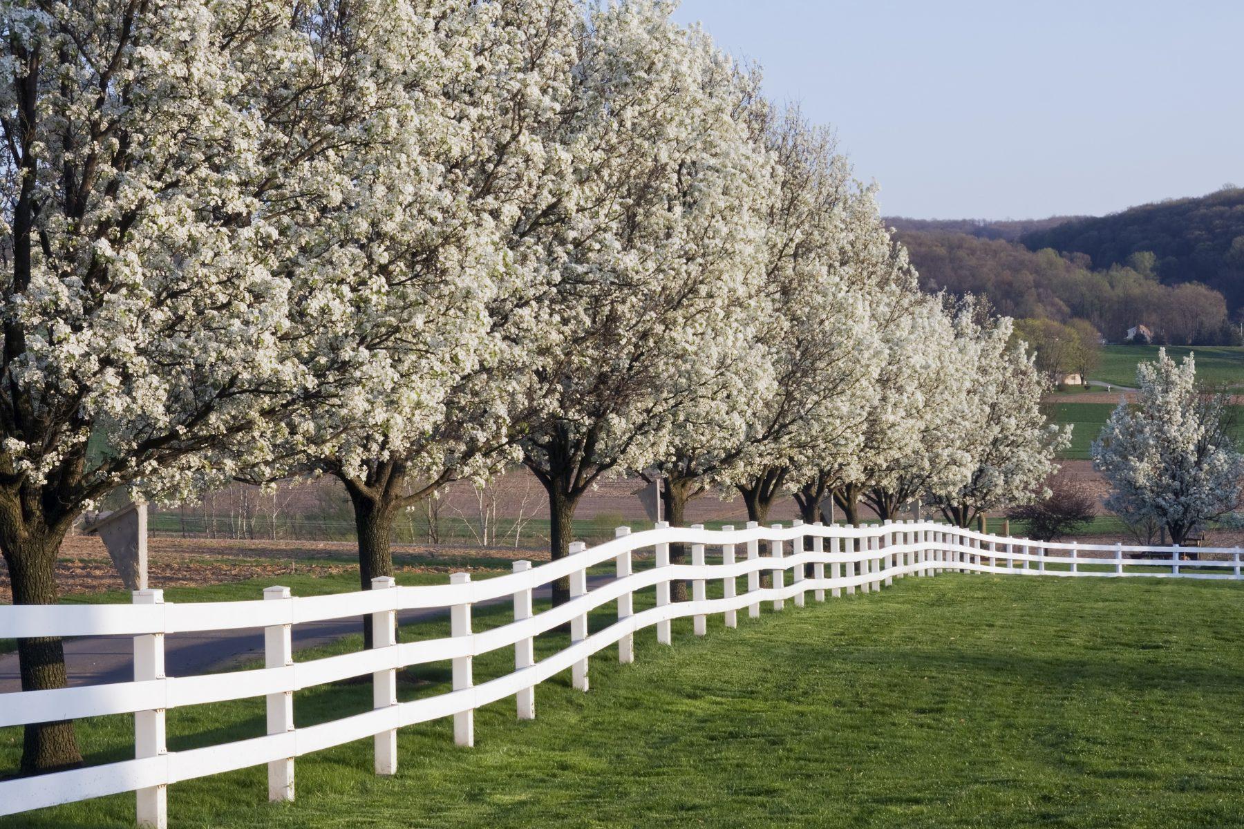 Dogwood-trees