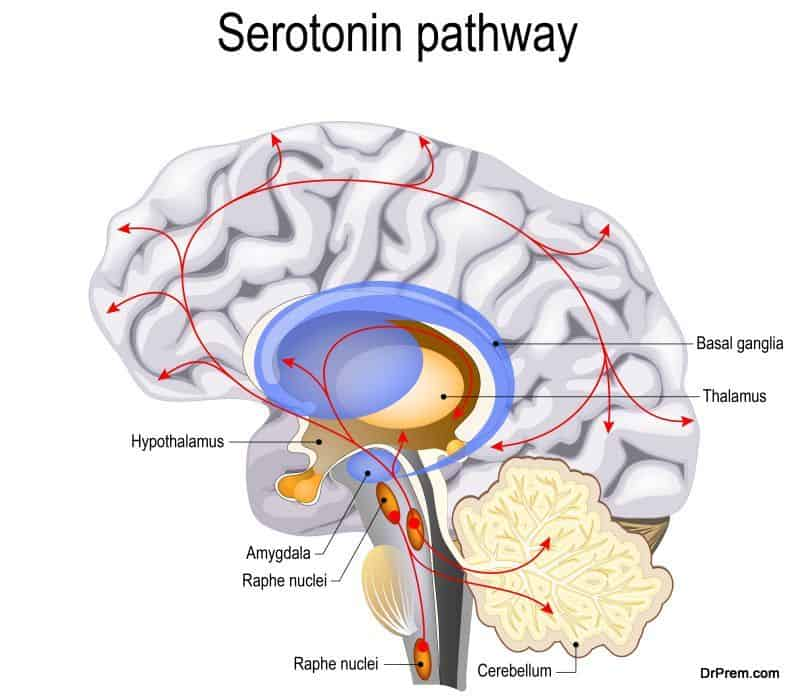 neurotransmitter serotonin in the brain