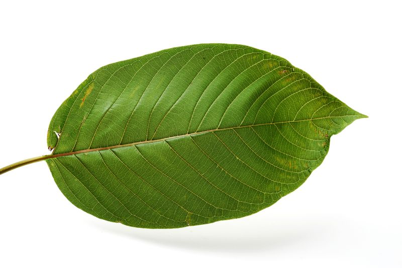 The leaf of the kratom tree (Mitragyna speciosa)