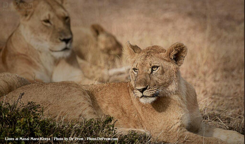 Masai Mara, Considered To Be World's Most Popular Wild Life Safari Destination Kenya - Dr Prem Jagyasi 1