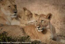 Photo of Masai Mara, Considered To Be World's Most Popular Wild Life Safari Destination Kenya