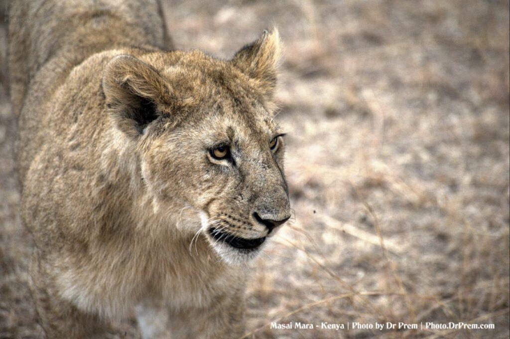 Masai Mara, Considered To Be World's Most Popular Wild Life Safari Destination Kenya - Dr Prem Jagyasi