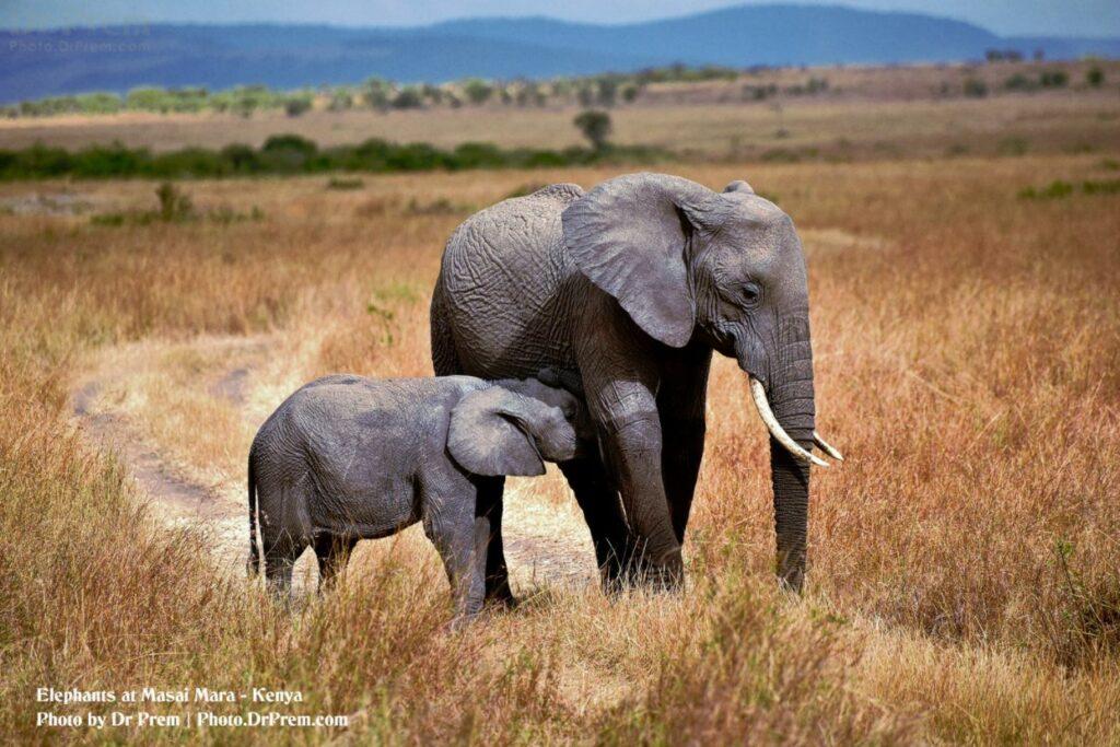 Masai Mara, Considered To Be World's Most Popular Wild Life Safari Destination Kenya - Dr Prem Jagyasi 2