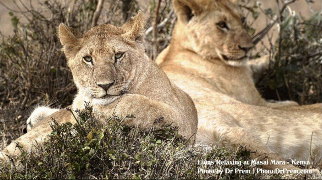Masai Mara, Considered To Be World's Most Popular Wild Life Safari Destination Kenya - Dr Prem Jagyasi 5
