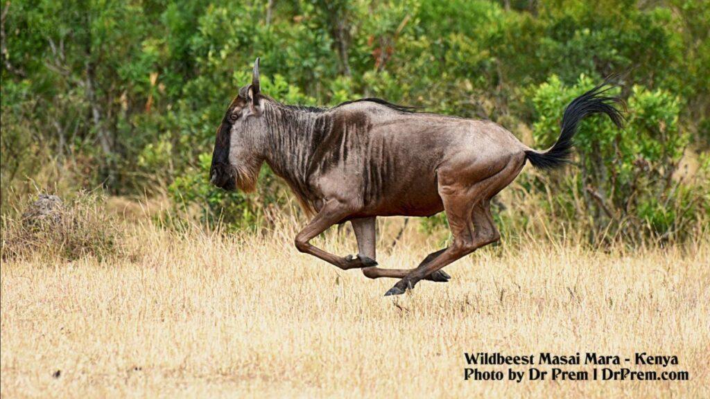 Masai Mara, Considered To Be World's Most Popular Wild Life Safari Destination Kenya - Dr Prem Jagyasi 6