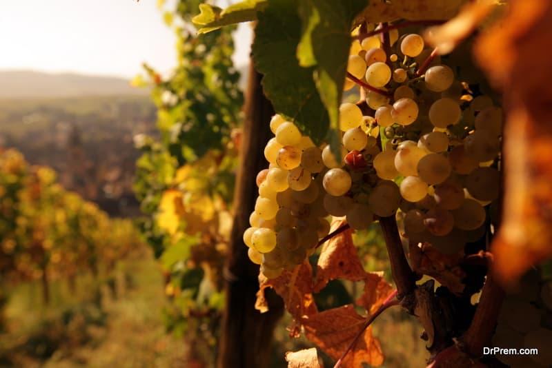 Enotourism or vine tourism