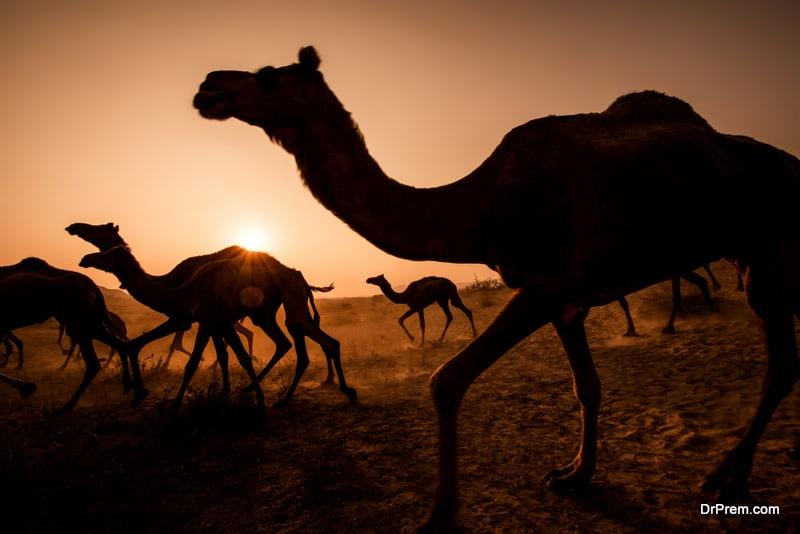 National Day camel marathon