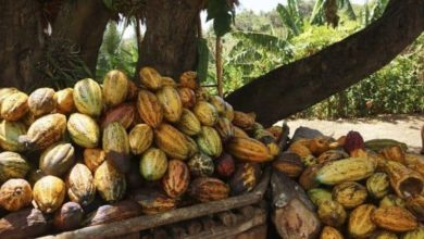 Photo of Re-visiting Cacao – The birth place of chocolate
