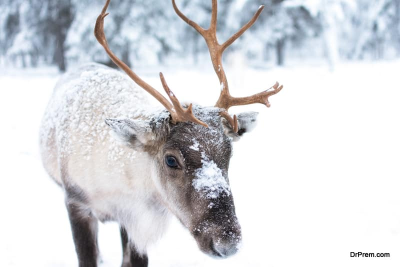 visual-treat-by-observing-reindeers