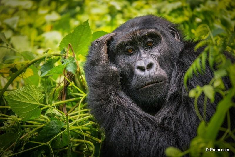 Gorilla-Safari-Uganda.