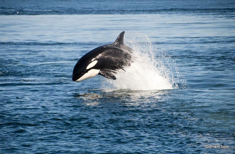 spot an orca