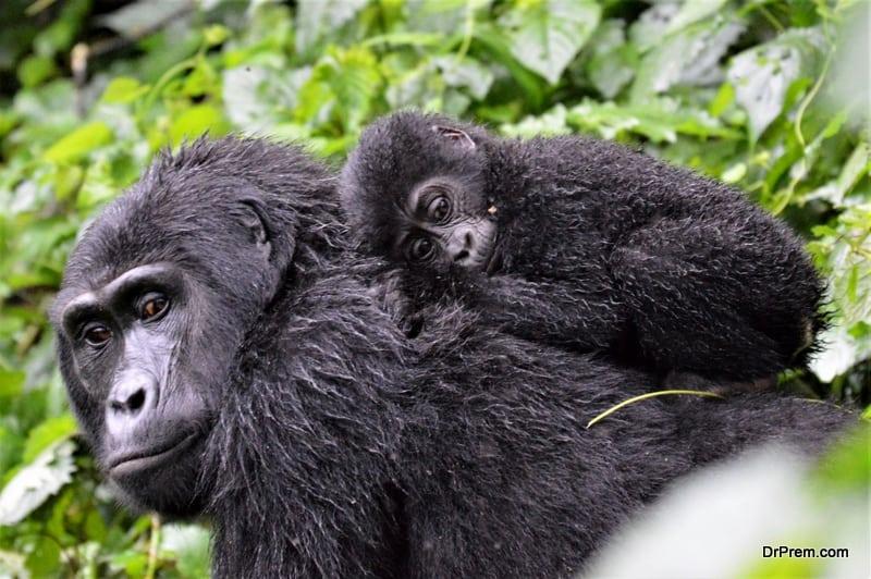 A baby mountain gorilla in Bwindi Impenetrable Forest, Uganda