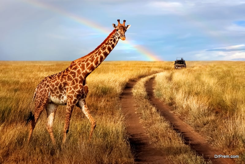A lonely beautiful giraffe in the hot African savanna against the blue sky with a rainbow