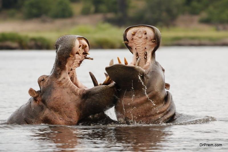 Animals hippopotamus fight nature wildlife river water safari Chobe National Park