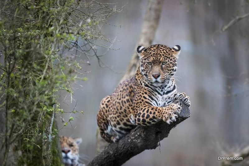 Brazil sighting jaguars