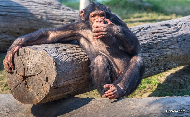 Chimpanzee with funny expression
