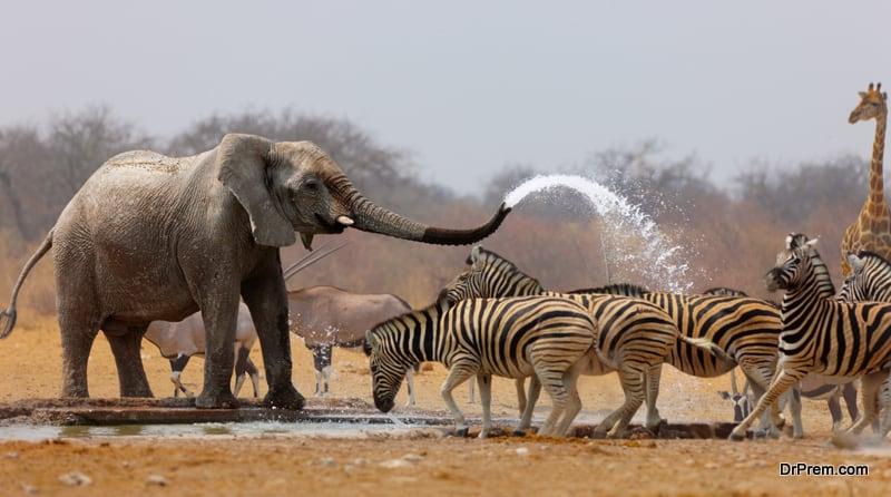 Elephant spraying zebras with water to keep them away from waterhole Etosha National Park