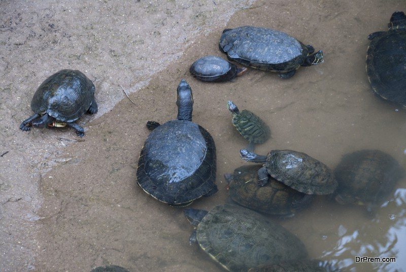 Family of water turtles. Guatemala