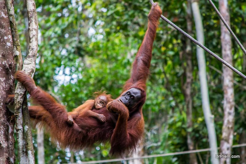 Orangutan in the wild, hanging in a tree with cute baby