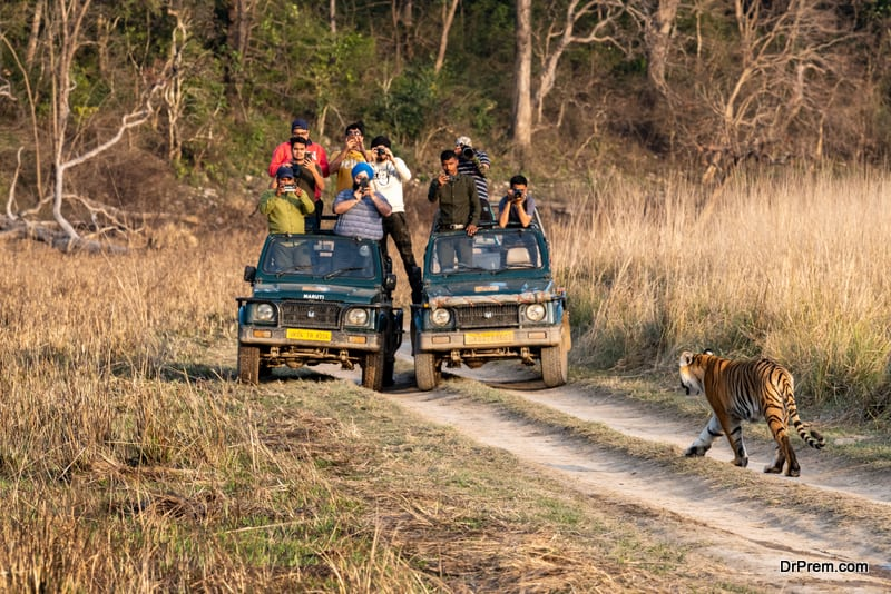 Tiger walking head on to safari vehicles