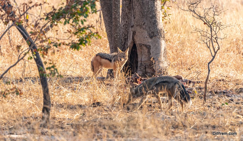 Two Jackals (Canis mesomelas) spotted in the Hwange National Park, Zimbabwe