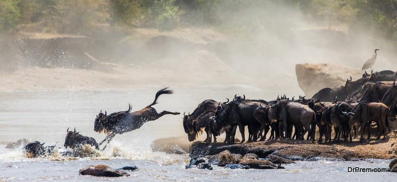 Wildebeest-jumping-into-Mara-River.Masai-Mara-National-Park