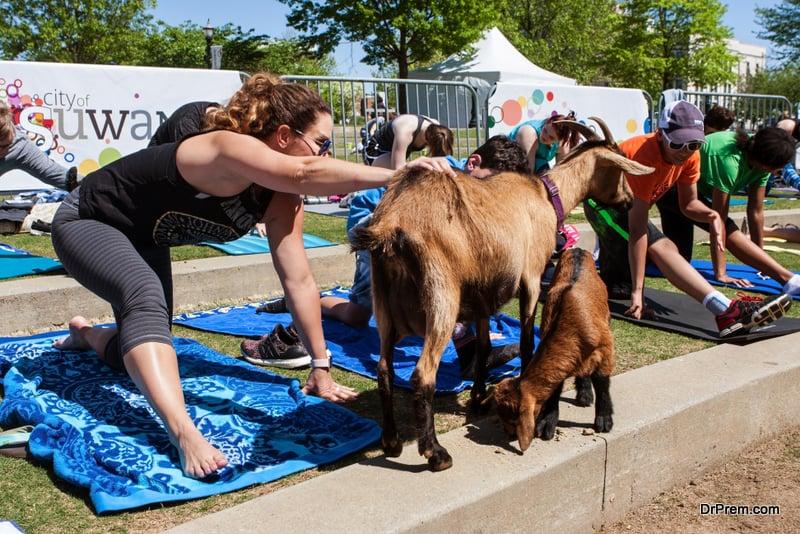 goat-yoga-session