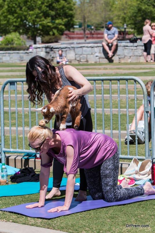 Goat Yoga is trending in wellness