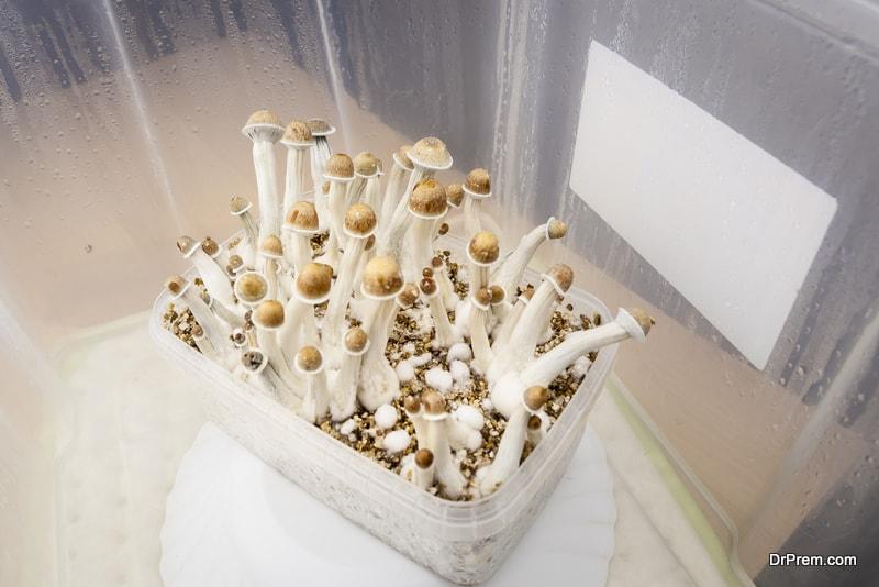 psylocybin-psychedelic-mushrooms